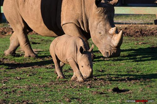Cria de rinoceronte en Cabárceno II