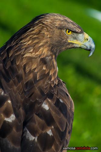 Aguila en Cabárceno
