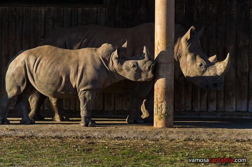 Rinocerontes en Cabárceno