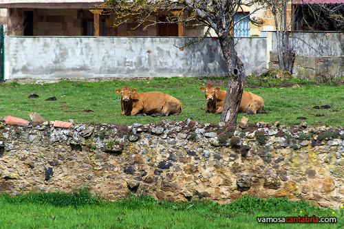 Vacas observándome