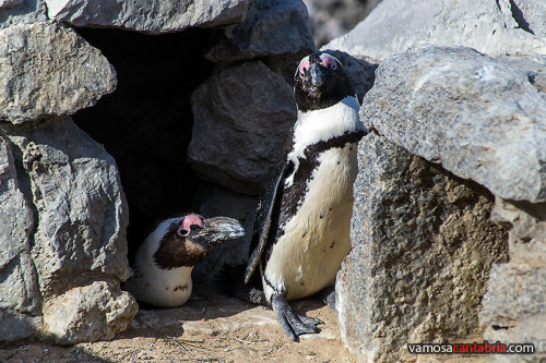 Pinguinos de la Magdalena I