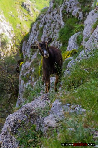 Cabra en la ladera