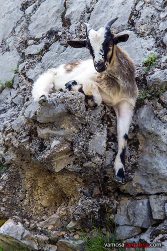 Cabra tumbada