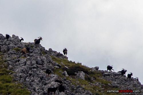 Cabras en la ladera II