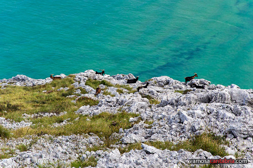 Cabras al borde del mar