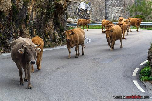 Vacas ocupando la carretera