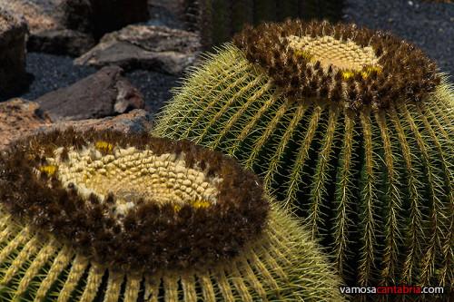 Cactus redondos
